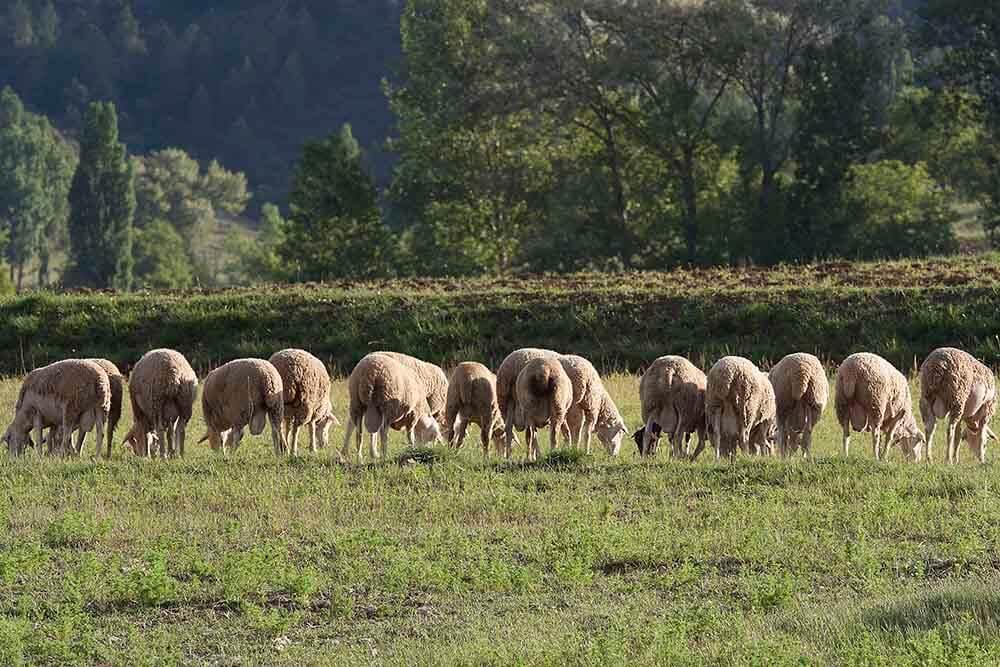 ¿Por qué la carne de cordero segureño es de calidad?